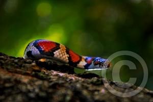 'Red King Snake'