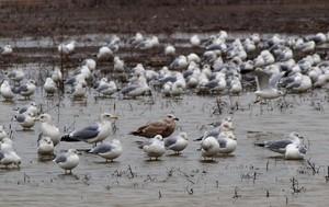 Herring Gulls Among Ring-Billed