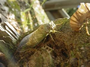 Cicada & Shell