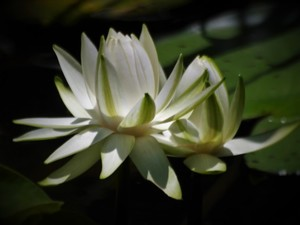 Waterlily Highlights