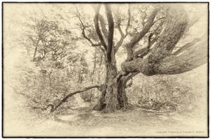 Great White Oak
