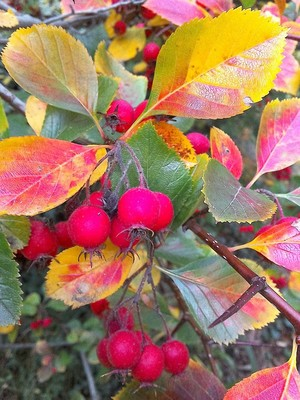 AUTUMN : LEAVES AND BERRIES .