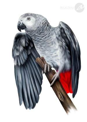 Fifty shades of the African Grey