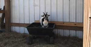 Barn goat