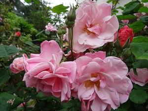 rosebeauties ...