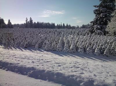 Christmas Trees - Oregon