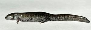 Smallmouth Salamander Ambystoma texanum