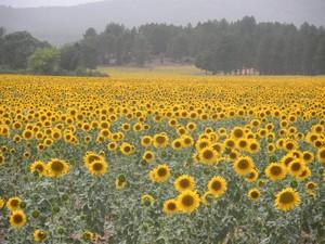 Sunflower fields in Spain