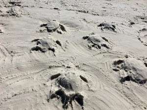 sand turtles