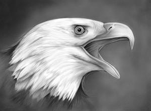 Bald Eagle - pencil on 9x12 smooth bristol paper