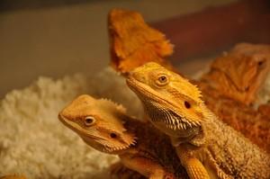 Dragon Lovers