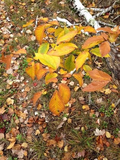 Beech Leaf Gold