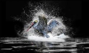 Pelican Love Splash