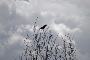 Black Crow and Clouds