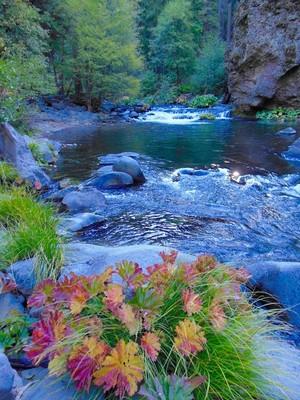 Indian Rhubarb and Deer Creek