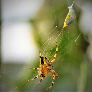 SPIDER AND ITS WRAPPED PREY ..