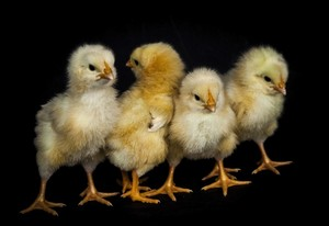 Good looking Chicks