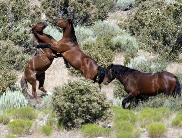 Wild Horses Fighting By Old Barn Artwanted Com