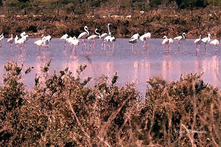 Flamingos in Atlit