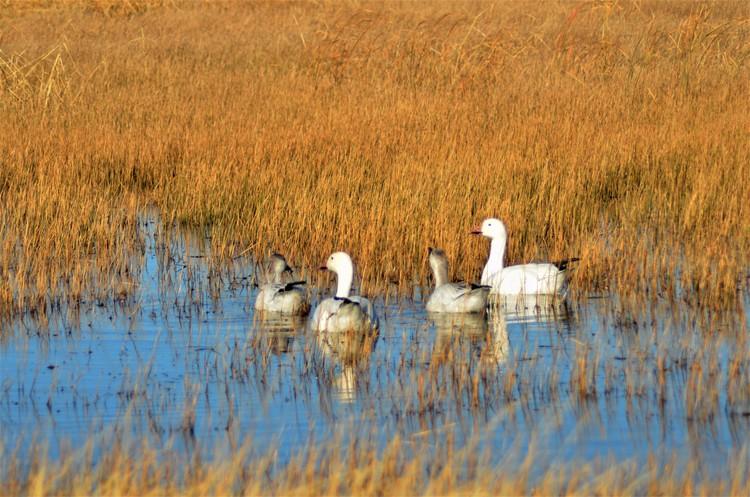 Geese Watching