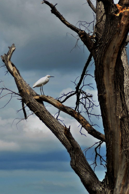 Snowy Egret View