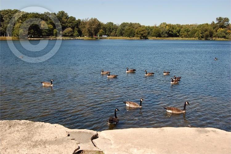 Geese Swimming Off Wampum Lake Rocks