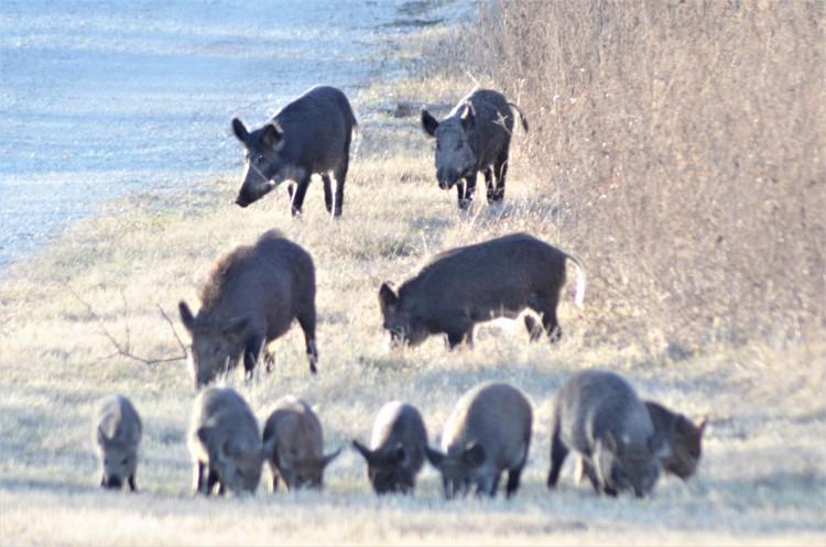 Eleven Feral Hogs