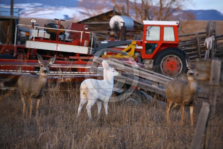 Albino Mule Deer Doe ...IN SITU