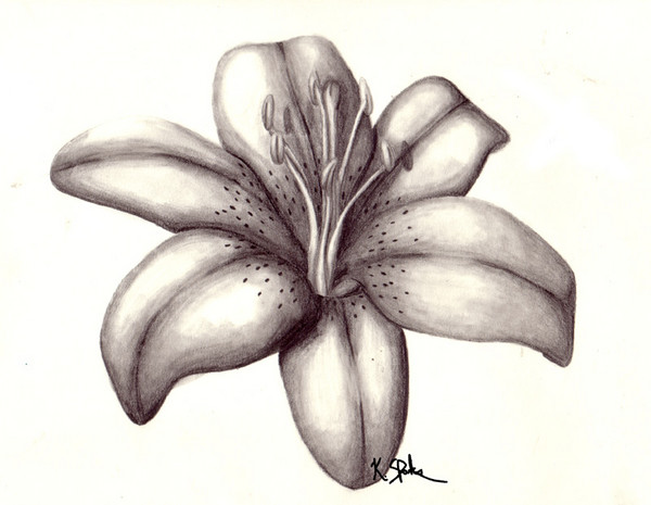 Lily Pencil Drawings Tiger Lily Drawing