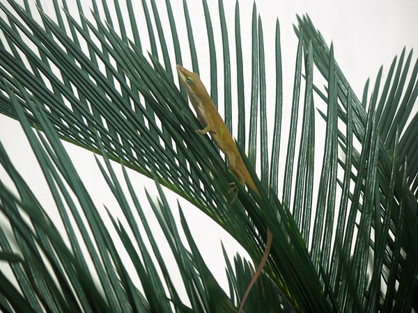 Anole With Palm - Looking Up