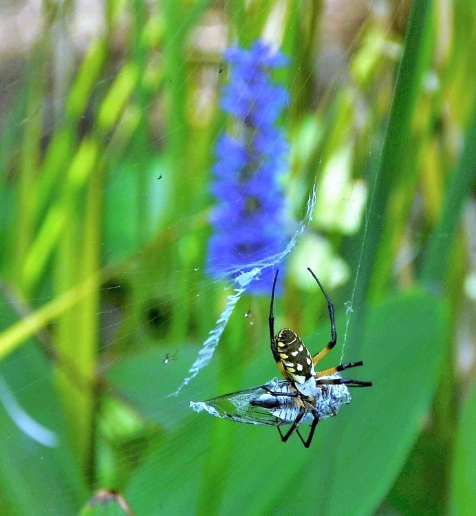 Yellow Garden Spider vs. Cicada