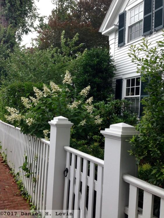 Edgartown White Picket Fence and Oakleaf Hydrangea