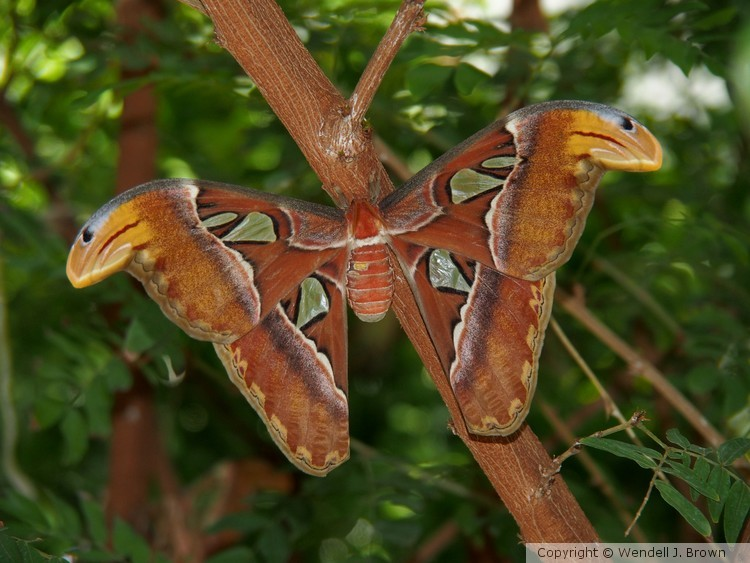 Proud Atlas Moth