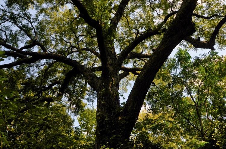 Very Old Pecan Tree
