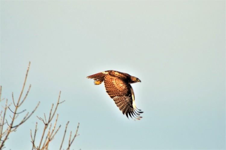Red-tailed Hawk Flight - HNWR