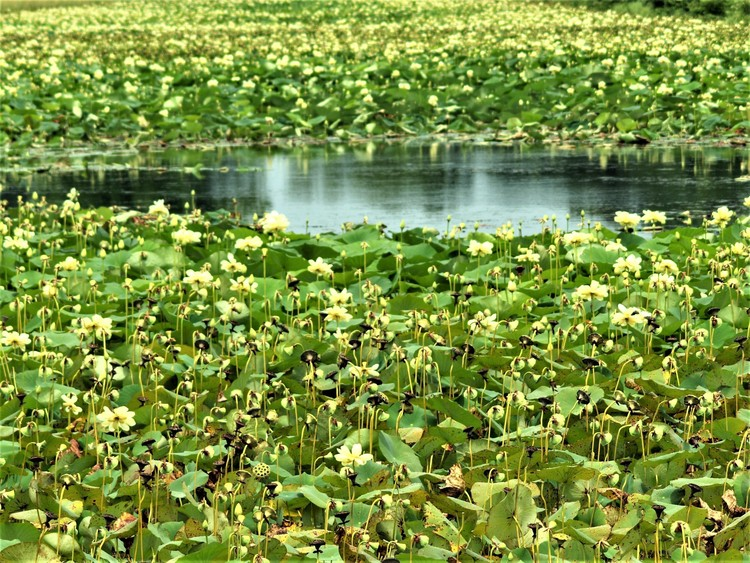 Lots of Lotus