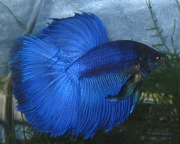 Blue veiltail betta fish the image kid for Blue betta fish