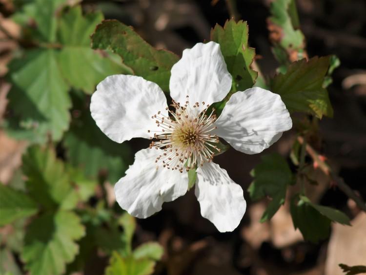 Dewberry Bloom