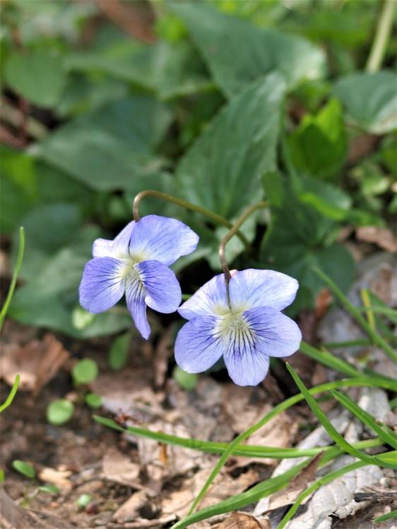 Violet Duet