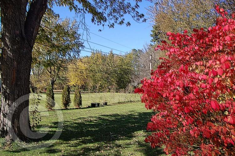 Burning Bush in Autumn Photo