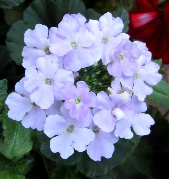PALE PURPLE VERBENA
