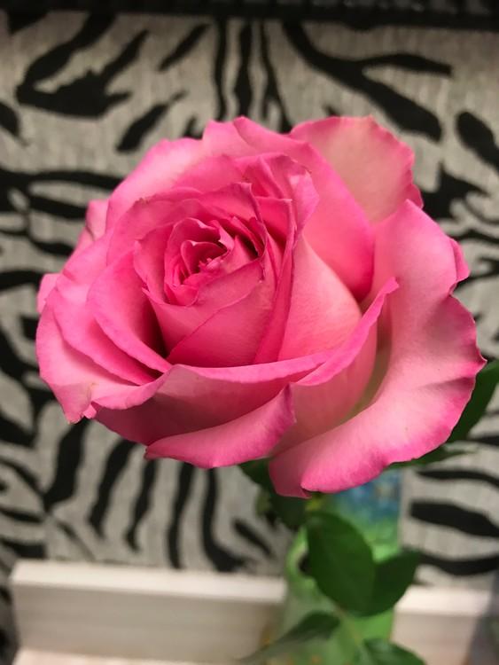 Pink Killarney Rose - Alpha Xi Delta Flower