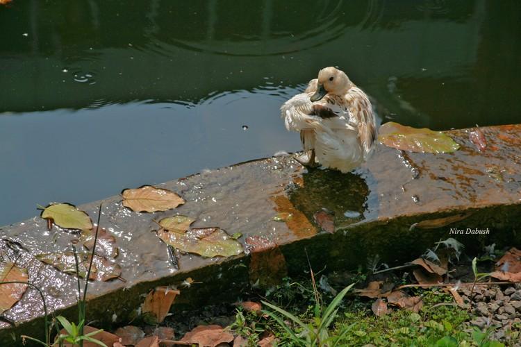 A Clean Duck