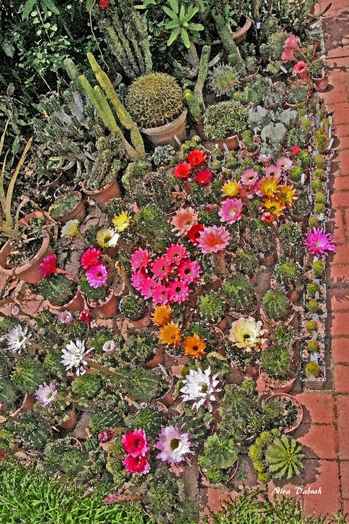 Arranged CactusEs