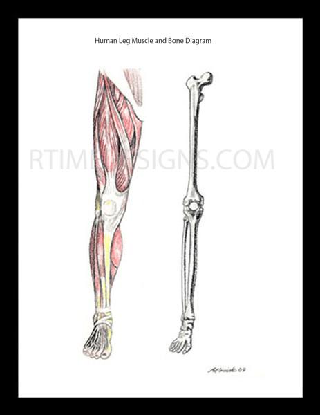 leg muscles drawing - photo #22