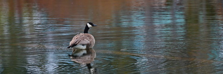 the goose which walks on water  :)