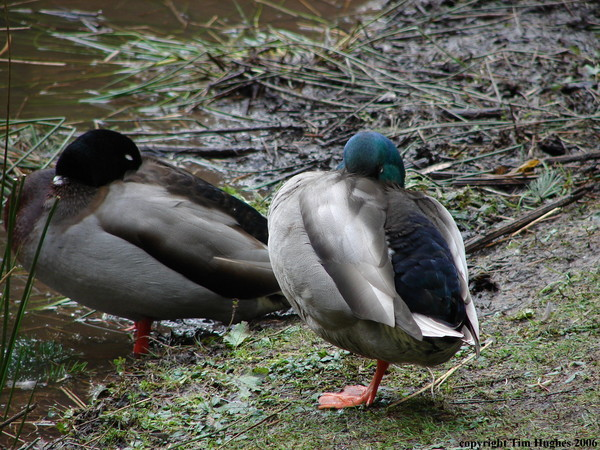 'Duck Statues'