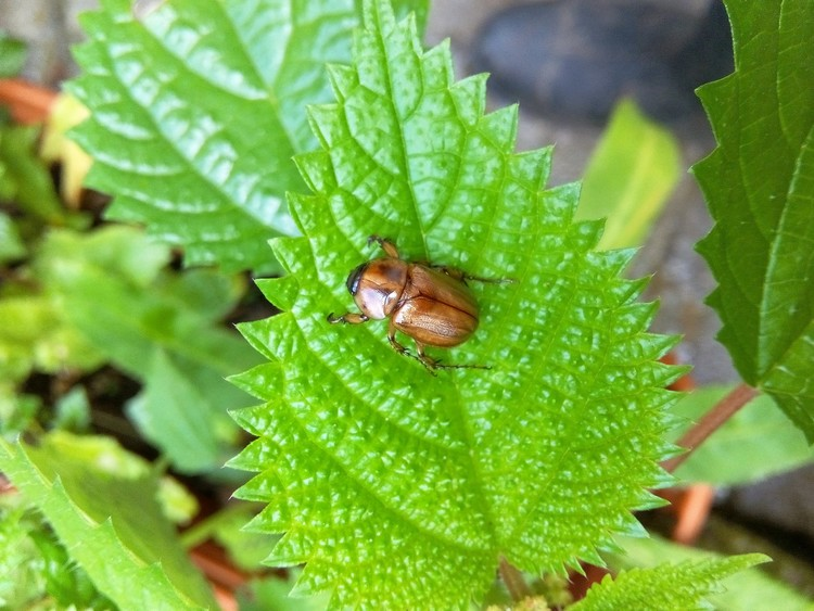 JUNE BUG ON NETTLE LEAF