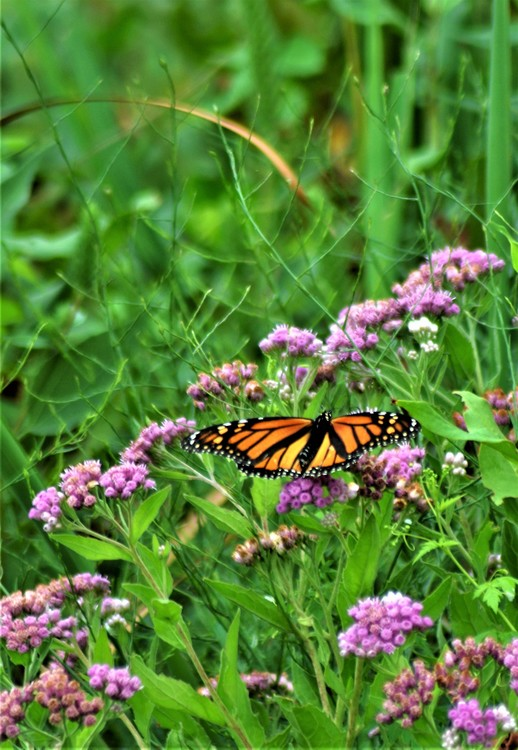 Monarch on Fleabane