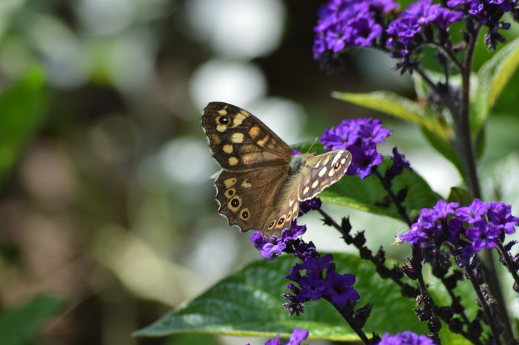 BROWN BUTTERFLY ..